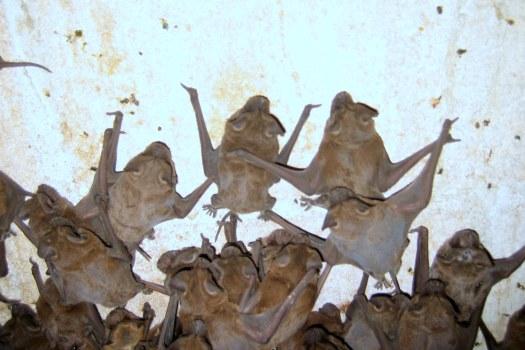 Bat Colony On Wall; Bat Removal Steps