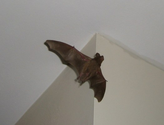 Bat In Home; Bats Finding Steps