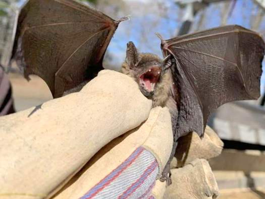Bat Removal By Hand