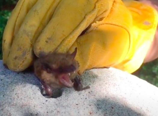 Bat Squeaking; Bat Noise In Attic