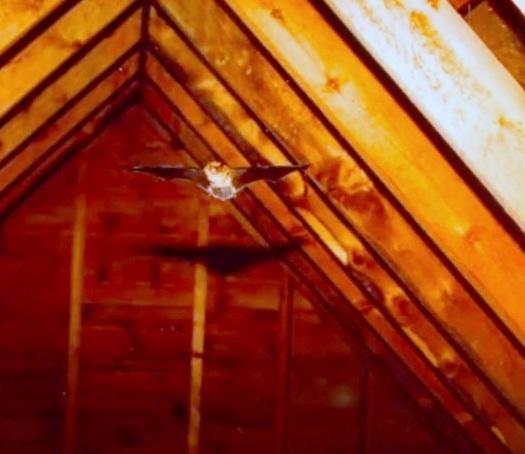 Bats In Attic; Bat Removal Steps