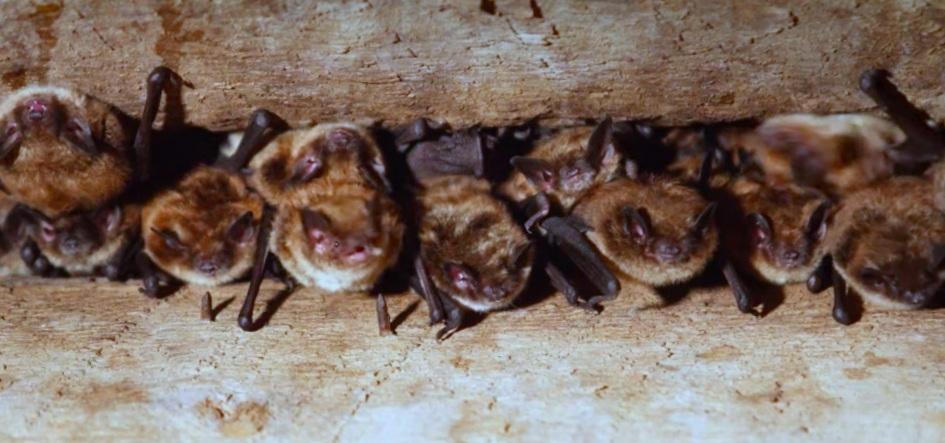 Little brown bat maternity colony