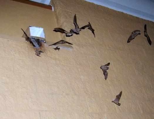 One-Way Bat Exclusion; Bat Noise In Attic