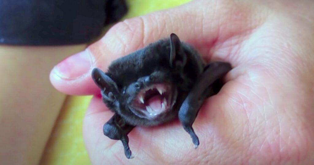 baby bat; Bats Birth