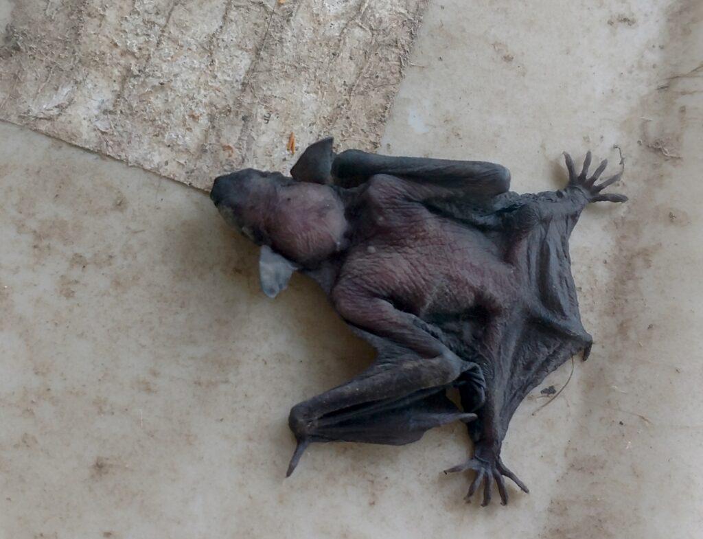 Baby Bats Fly