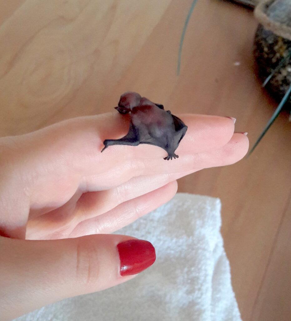 baby bat on hand; Bat As Pet
