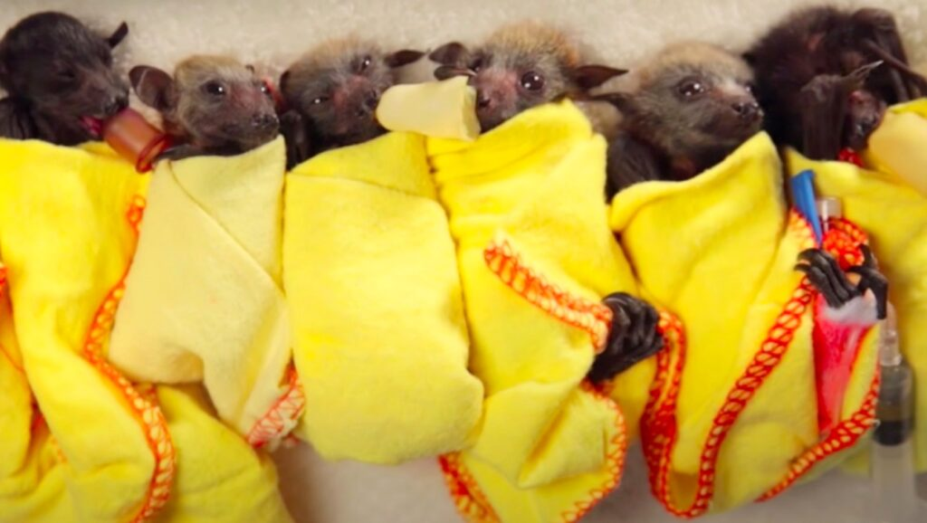 Wildlife Rehabilitators and Bats