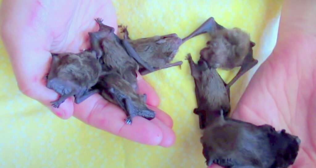baby bats; Bat Maternity Season