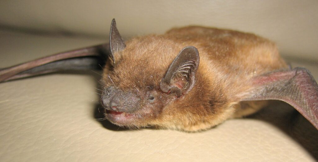 Endangered Bat Species