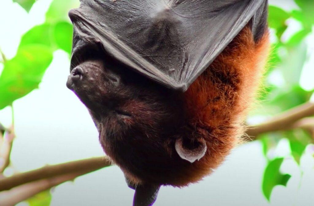 bat asleep