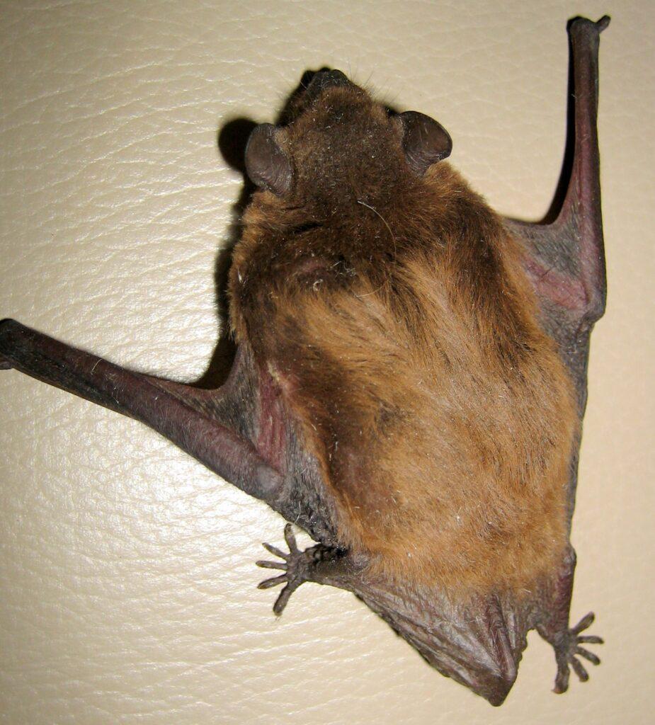 Bats Birth