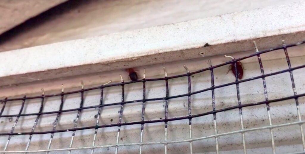 bat bugs;Bat Bug Infestation