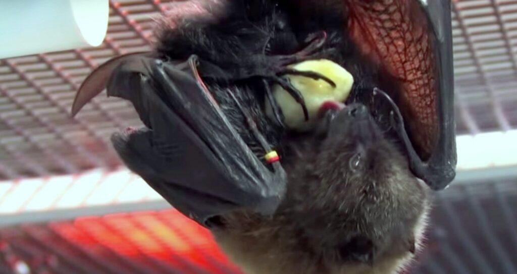 bat eating; What Do Bats Eat
