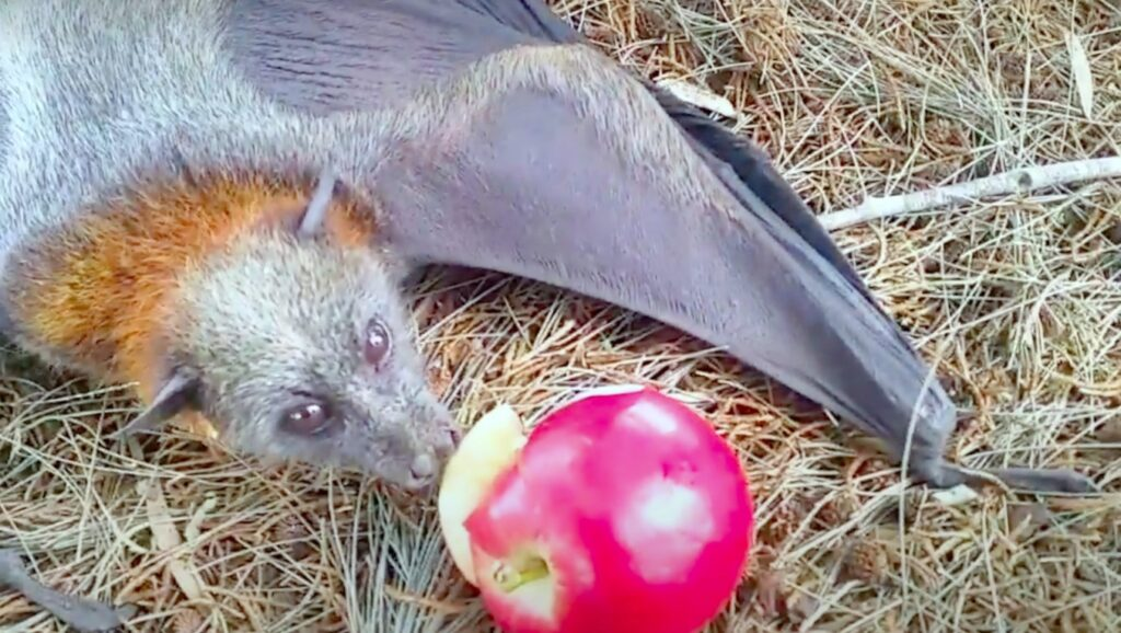bat eating fruit; What Do Bats Eat