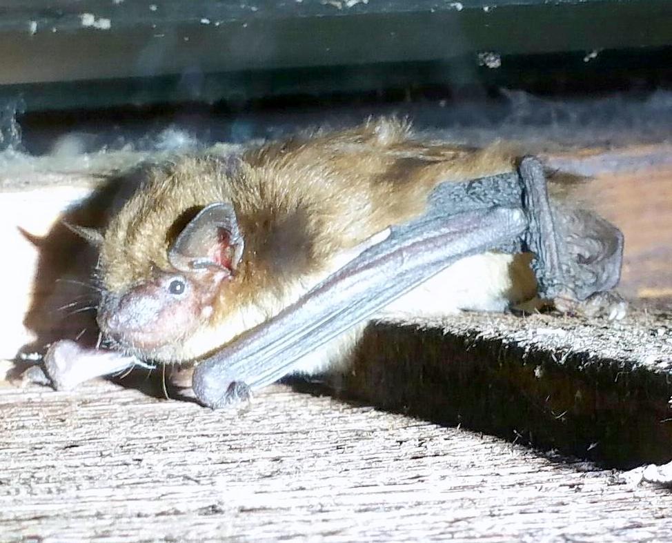 bat eyes open; Bat Entry Points