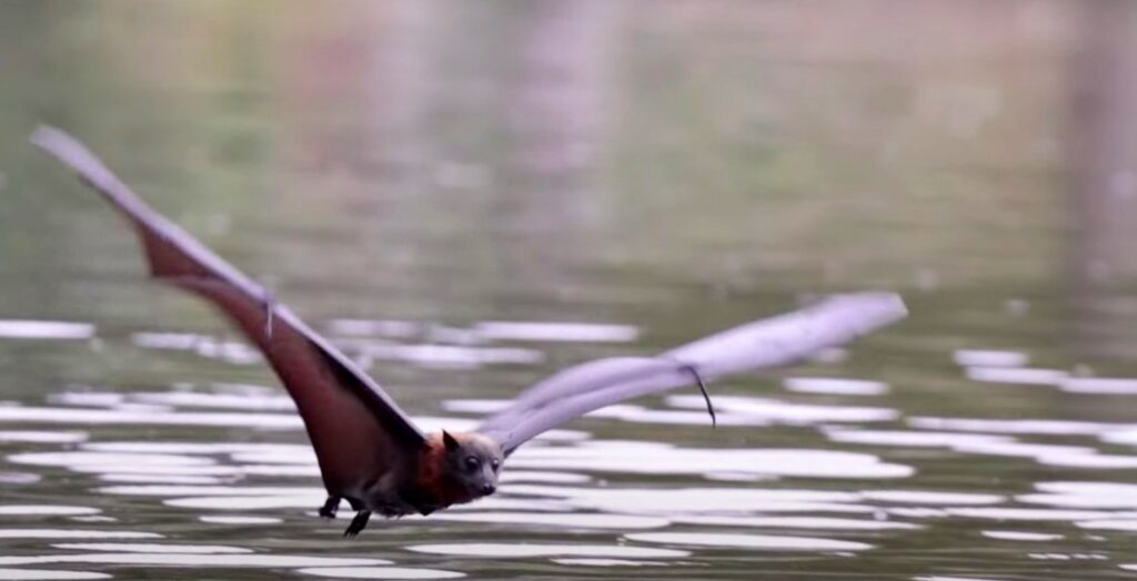 bat flying across water