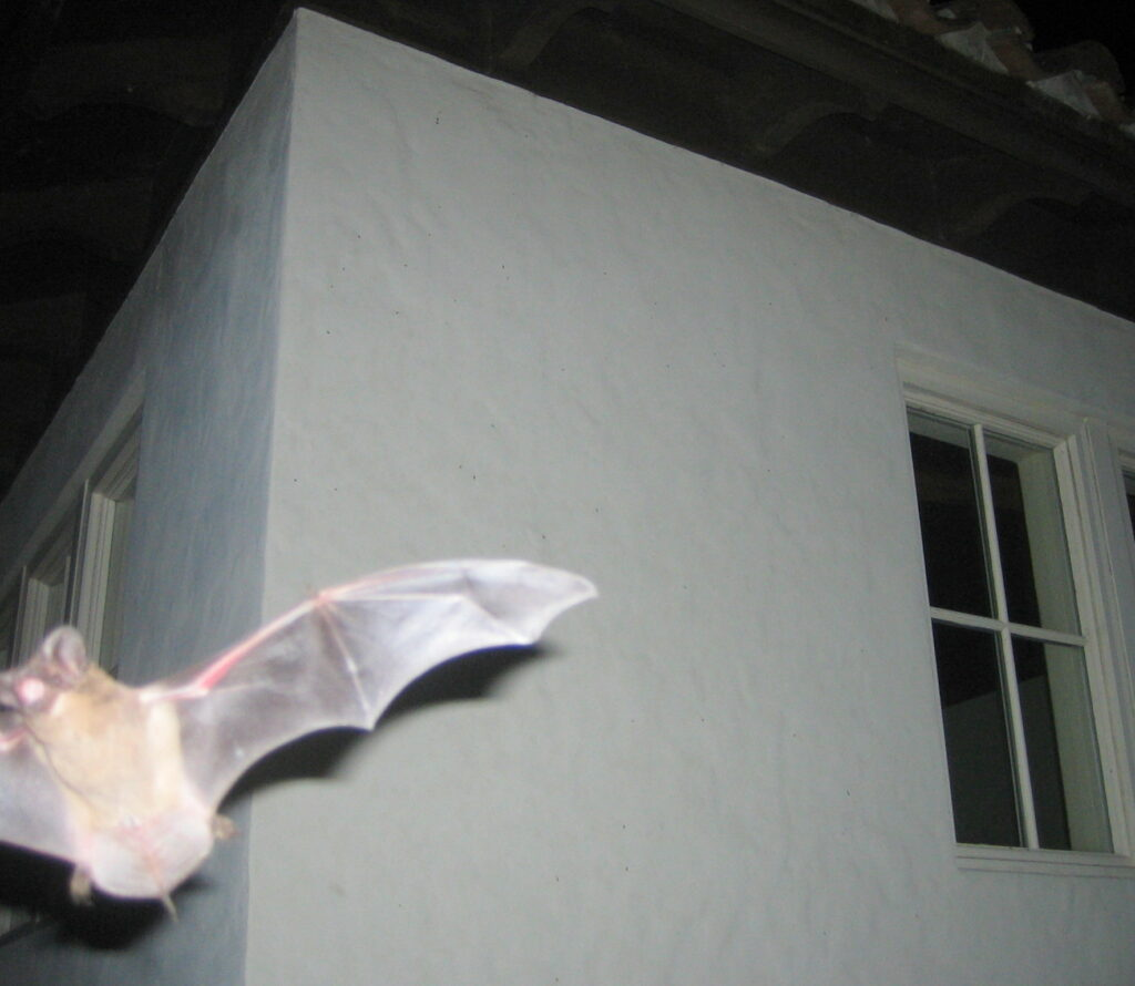 bat flying closeup; Bats Hibernate