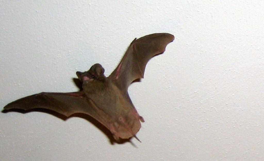 bat flying indoors