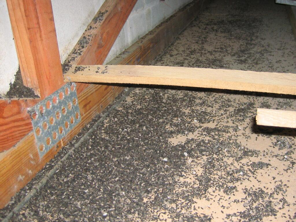 bat guano in attic