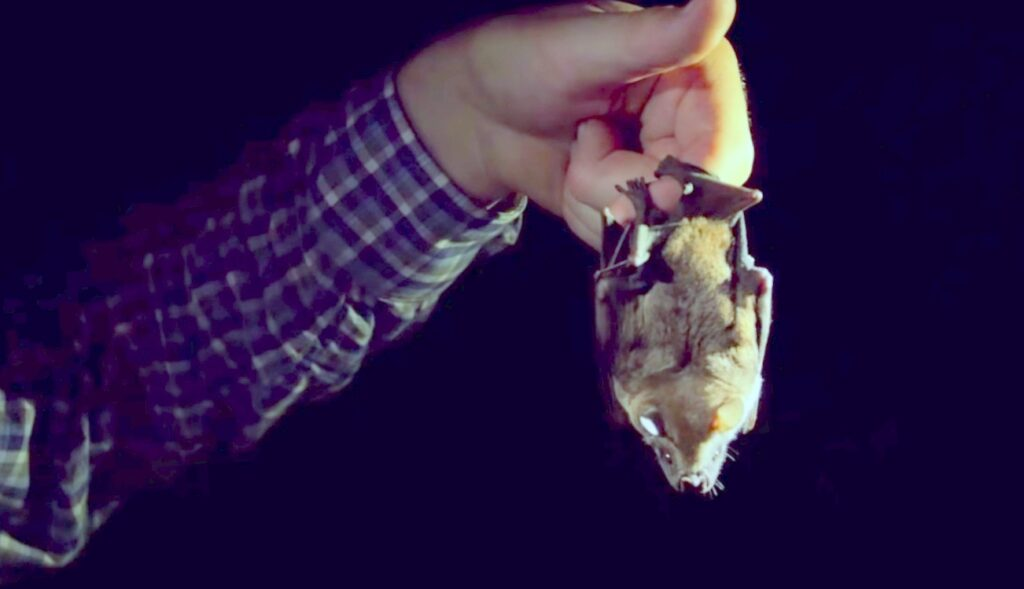 bat hanging from hand; Bat Caught In House