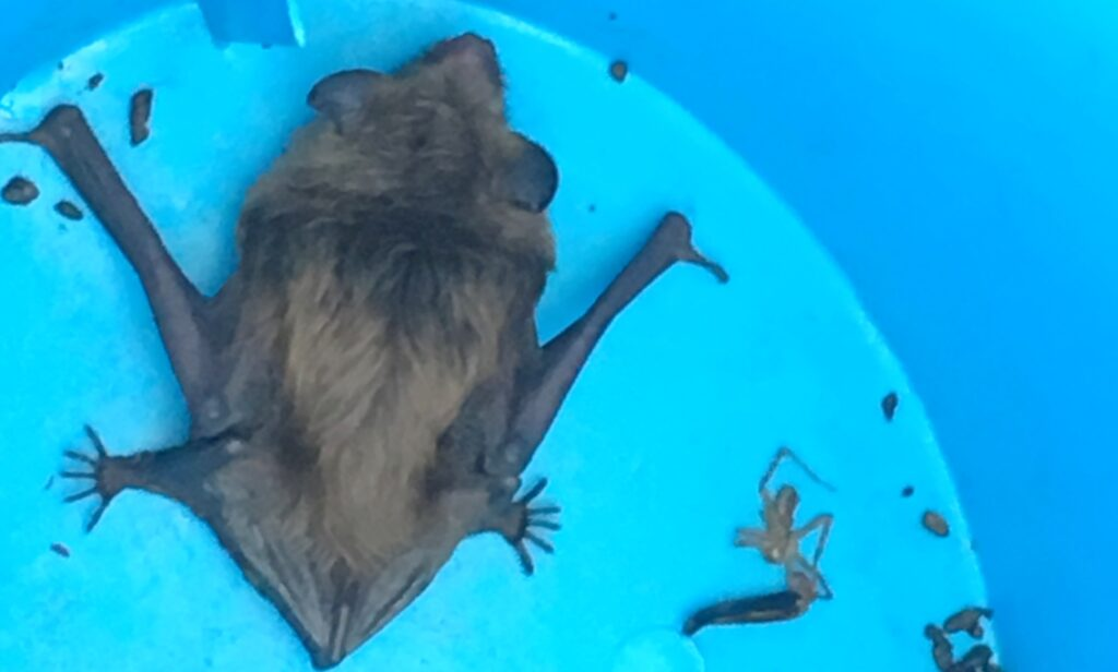 bat in bucket closeup; Bat Caught In House