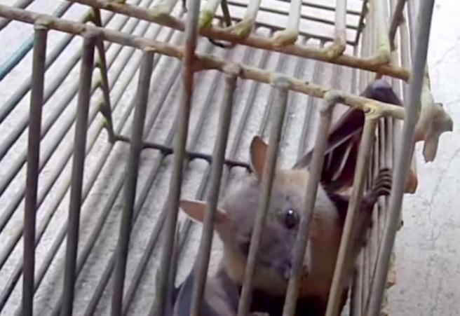 bat in cage trap; Bat Removal Tips;Mothballs Repel Bats