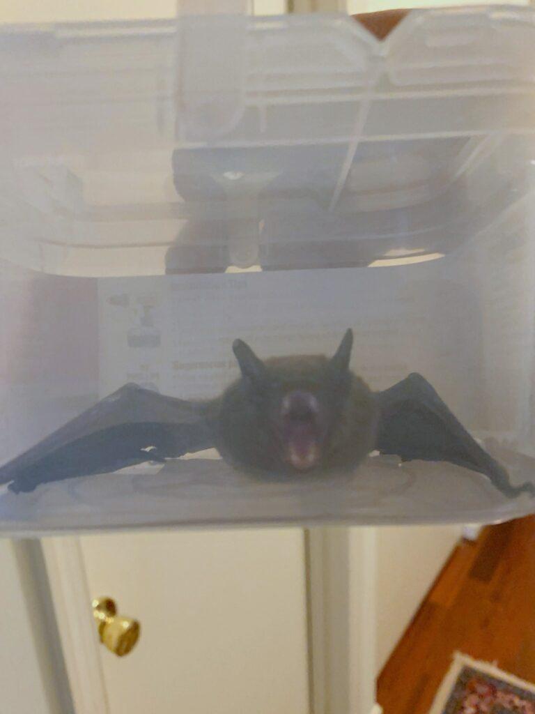bat in plastic box; Is Trapping Bats Legal