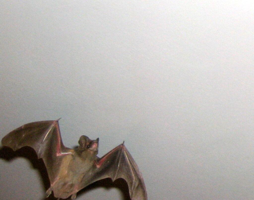 bat mid-flight