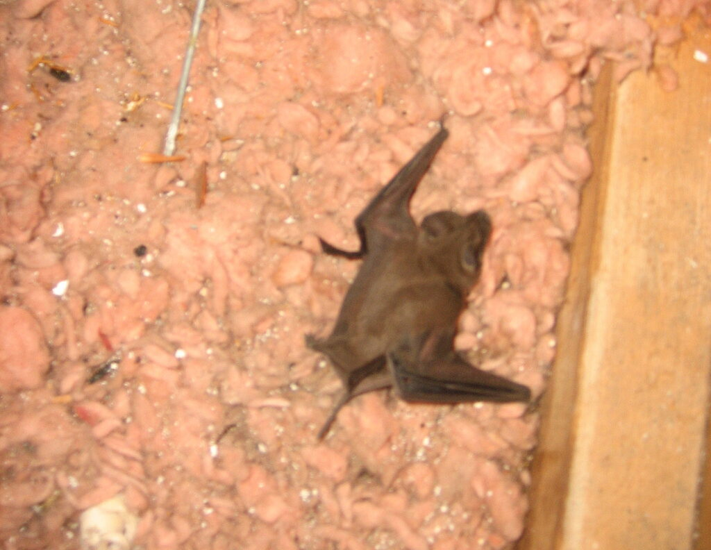 bat on attic insulation