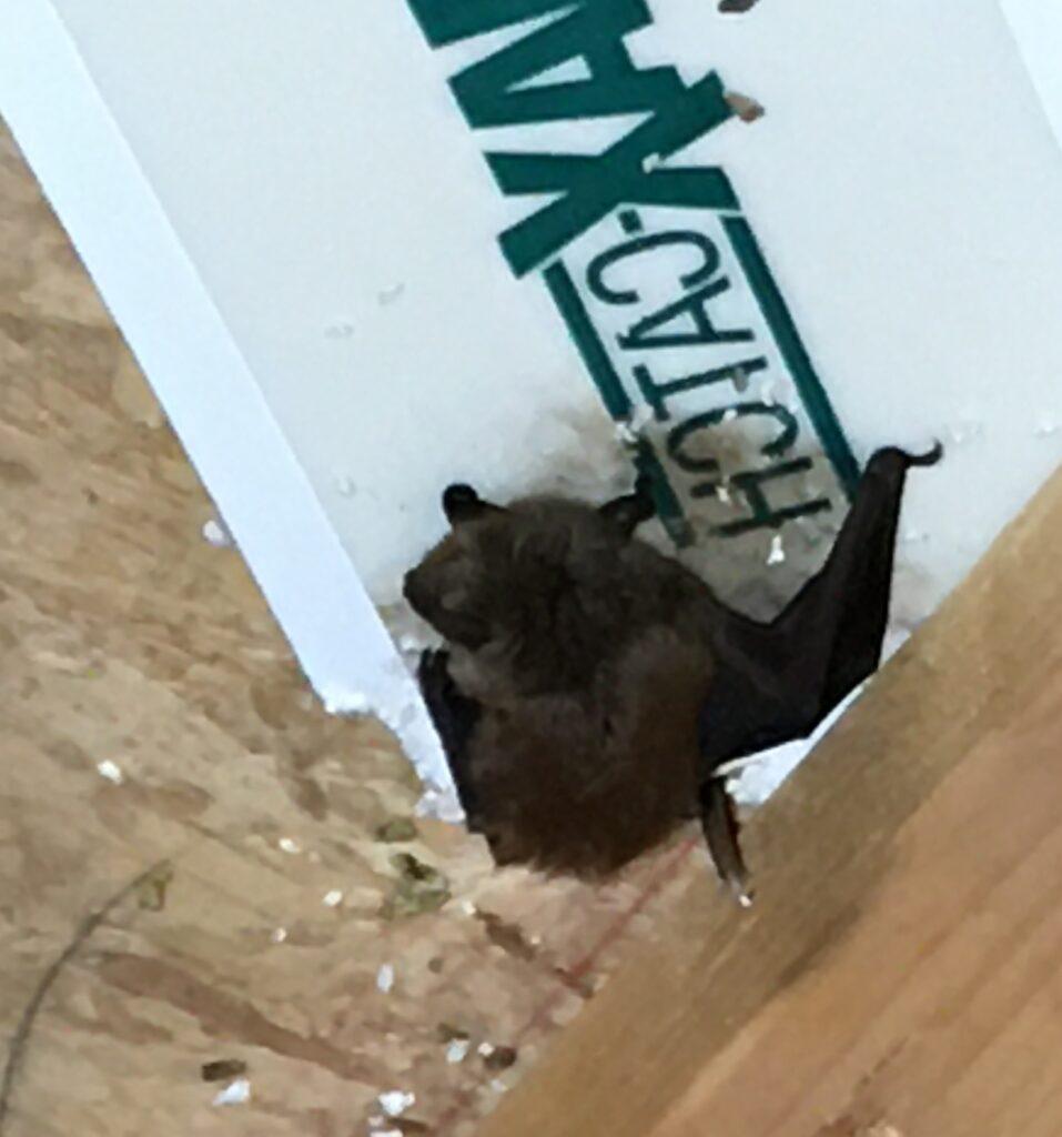 bat on attic wood