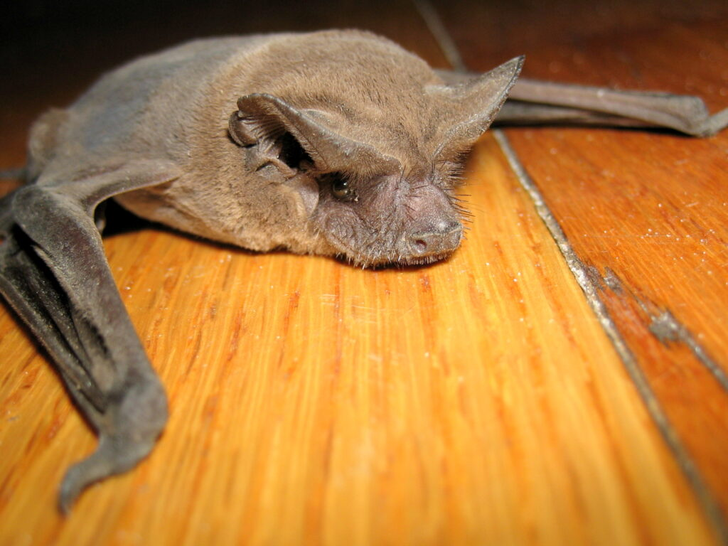 bat on floor; Dead Bat