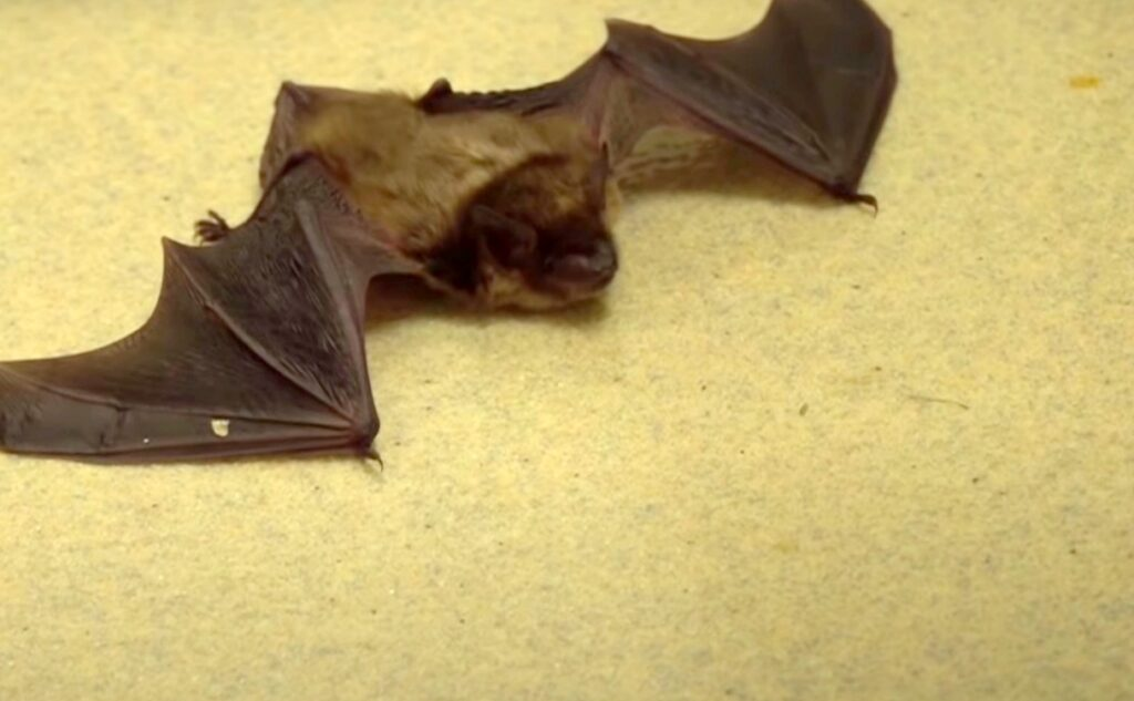 Bat Poison