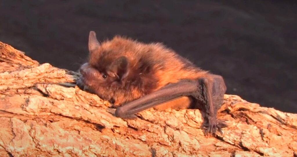 bat on log; Bats Hibernate