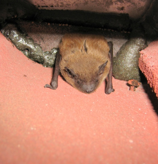 bat on tile roof