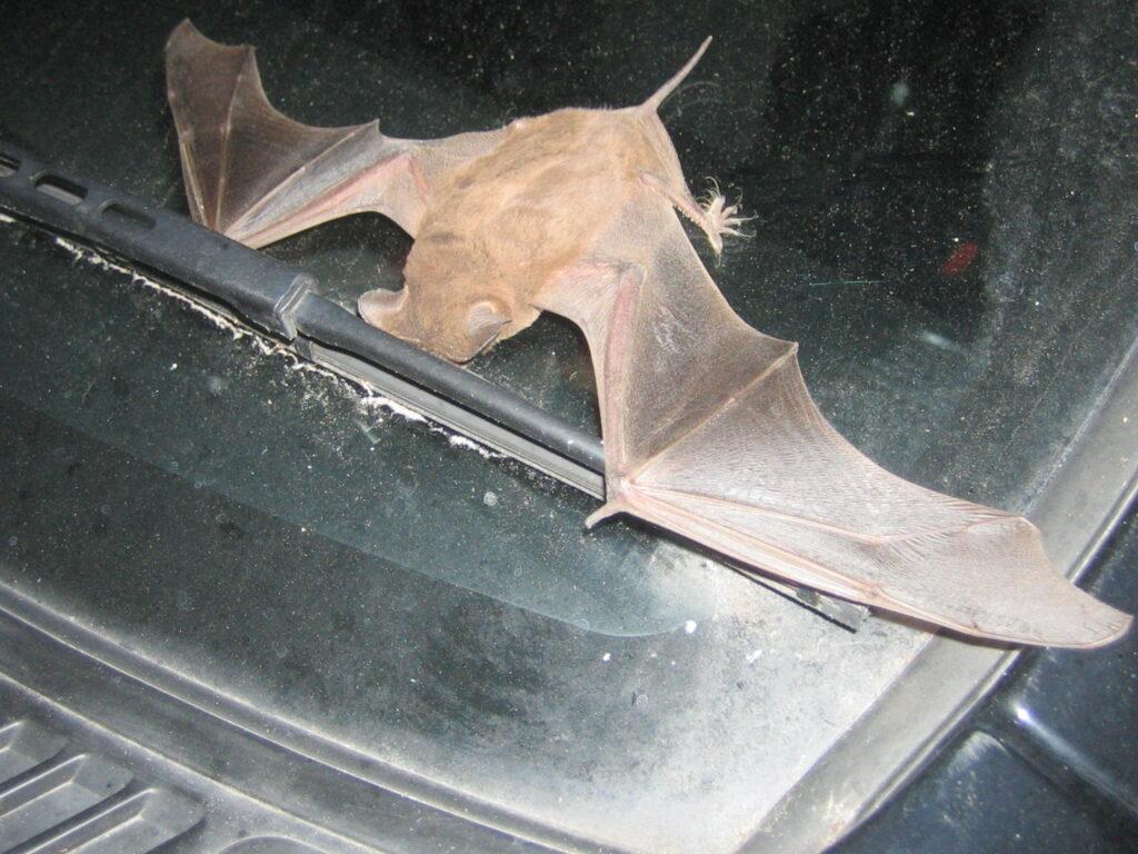 bat on windshield; Bat Carry Rabies