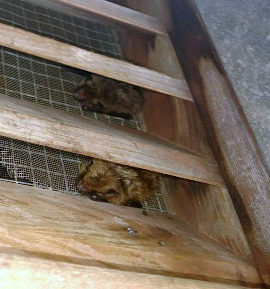 bat removal attic