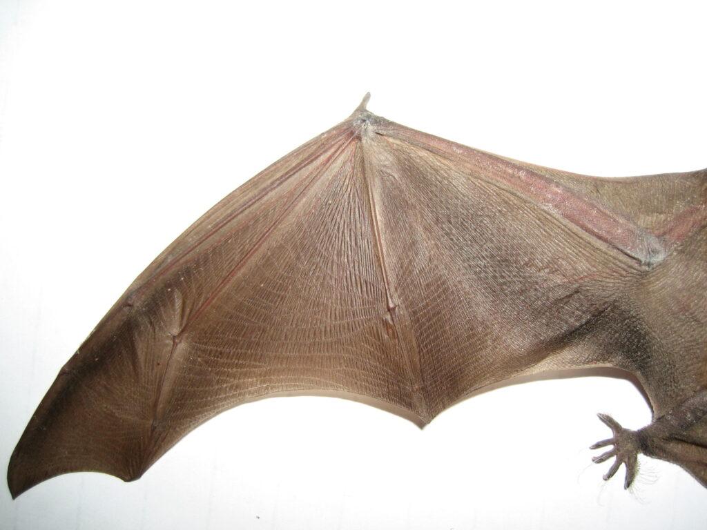 Big Brown Bats