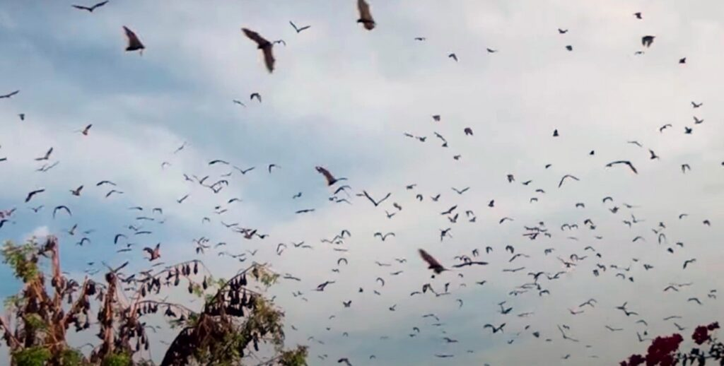 bats in flight; Home Remedies For Bat Removal