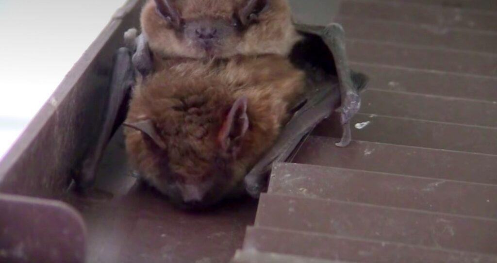 bats mating