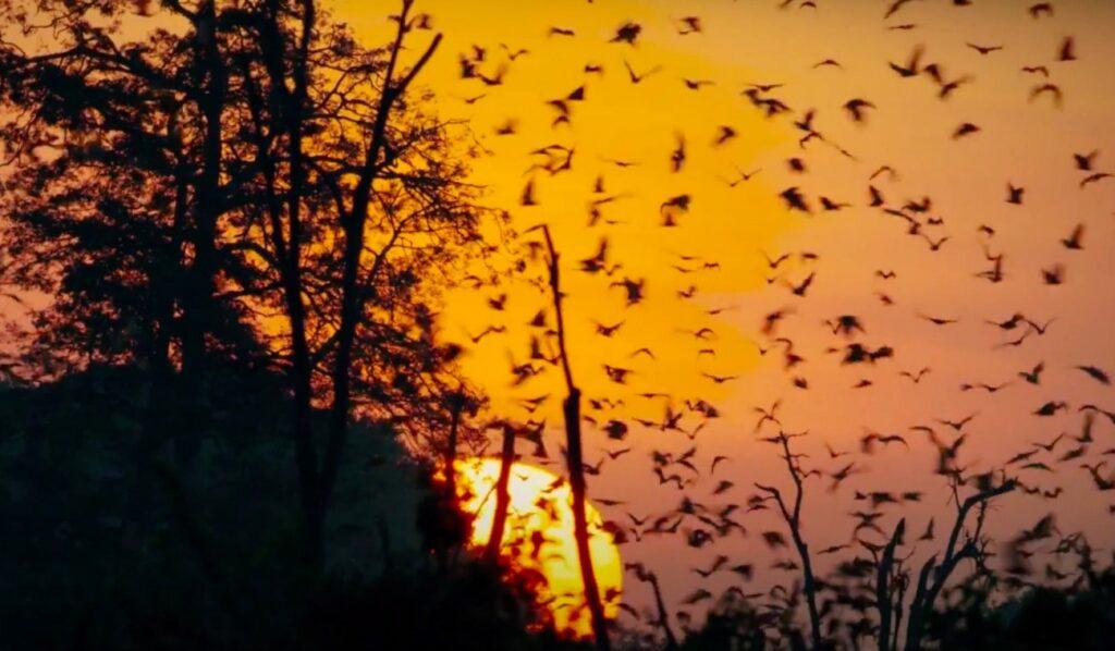 bats migrating; Bat Migration