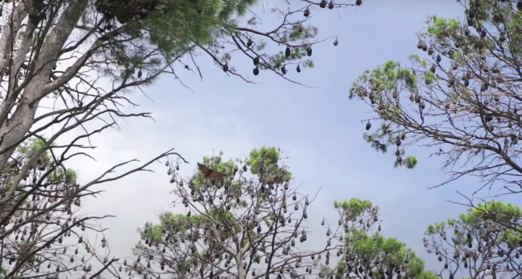 bats roosting in trees