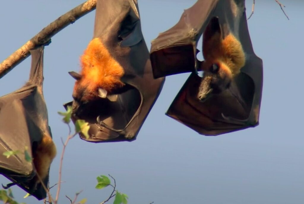 bats sleeping upside down; Bat Carry Rabies