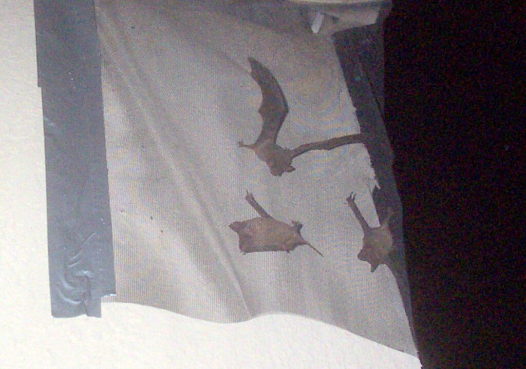 bats under screen