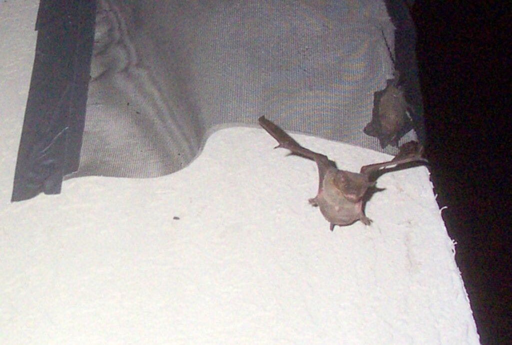 excluding bats; Bat Removal Tips
