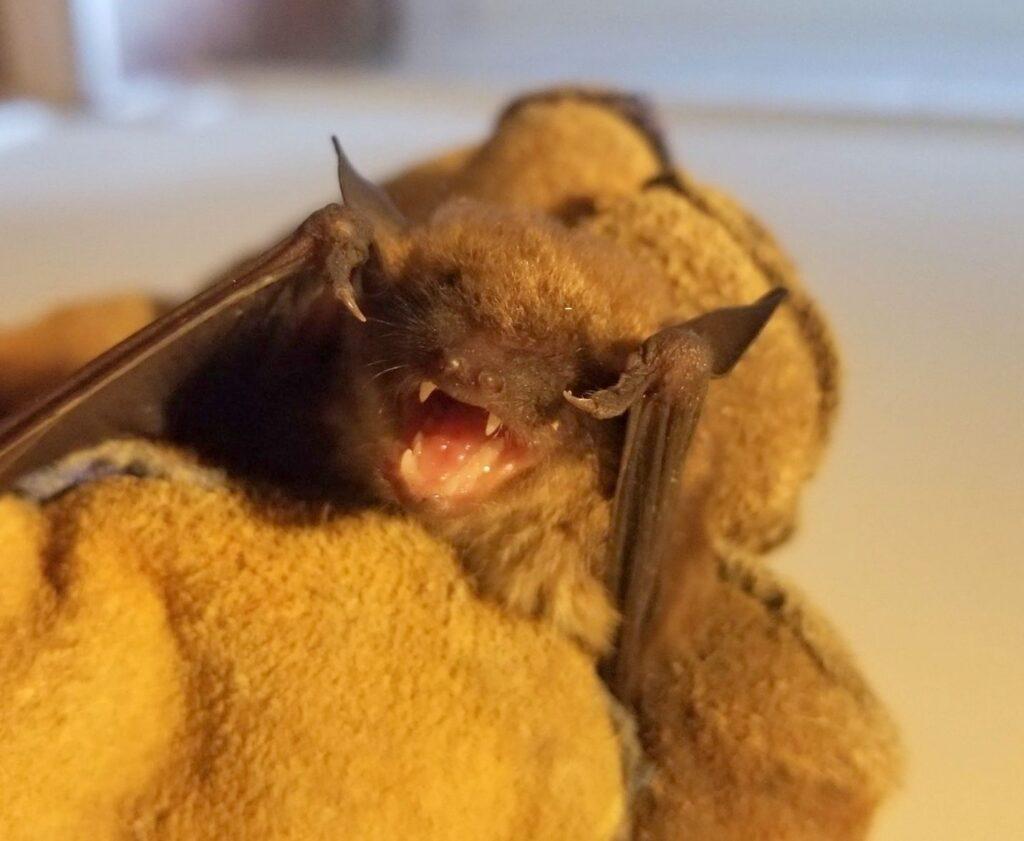 face of bat