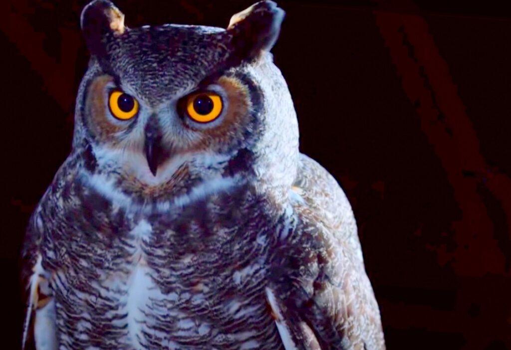 owl; Bats Predators