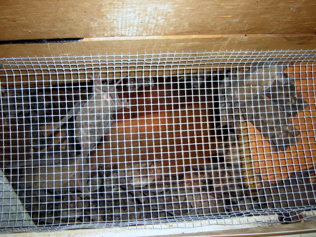 removing bats; Remove Bats From Attic