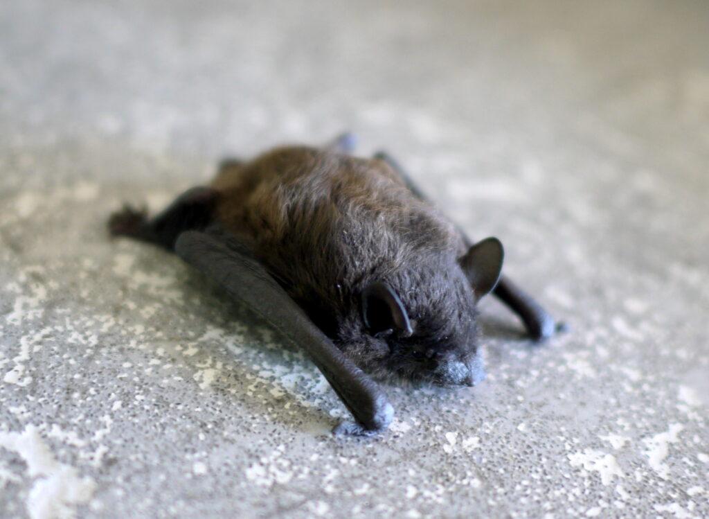 Bat Bug Infestation