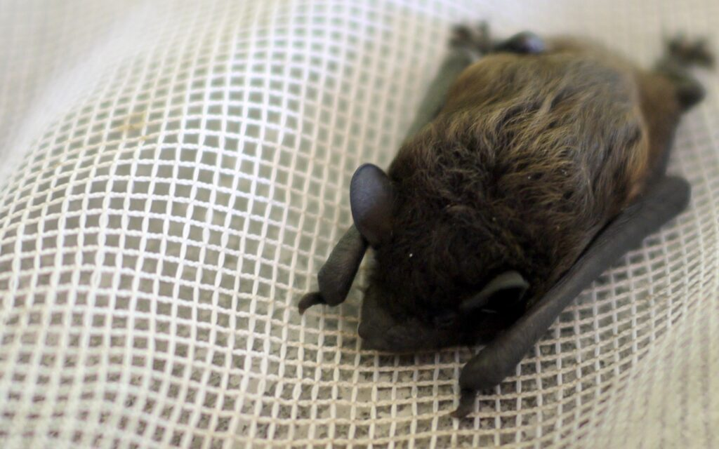 Are Bats Rodents