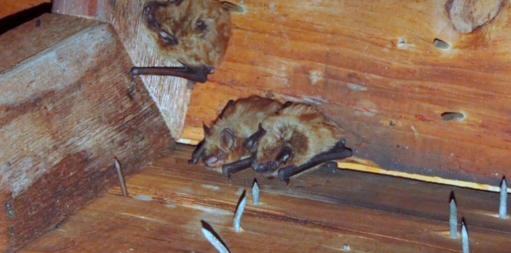 three bats in attic